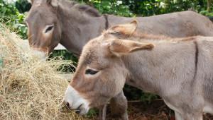 Ферма с магарета произвежда сирене на цена 2 000 долара за кг