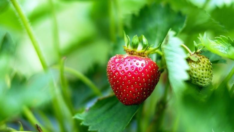 В Белгия отглеждат ягоди на четири етажа