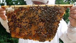 Нелегален внос на пчели-майки застрашава генофонда на БГ кошерите