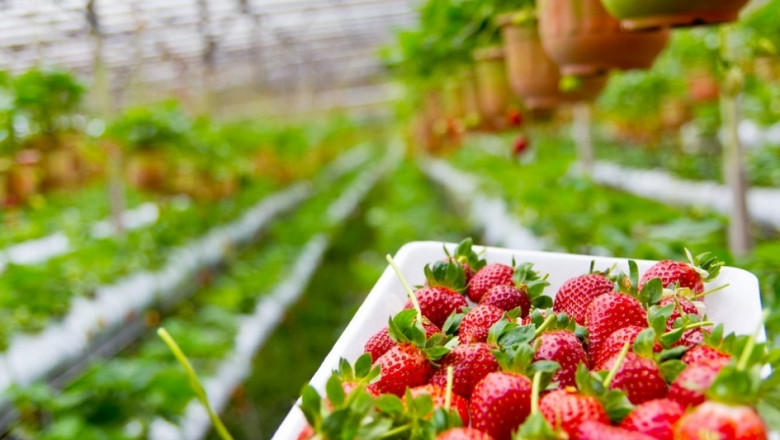 Започна прибирането на зимните ягоди в Турция