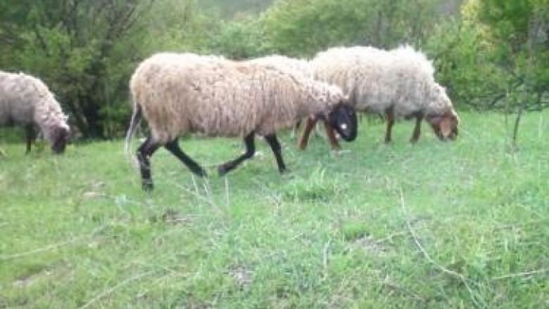 С какви фуражи да храним овцете?