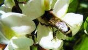 Грижи за пчелите през май – Използване на акациевата паша