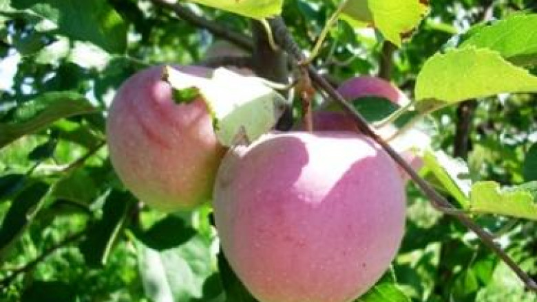 Какво още трябва да знаем за поддръжката на плодните дръвчета?