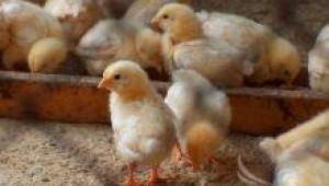 Отглеждането на едномесечни пилета не е само търговски въпрос