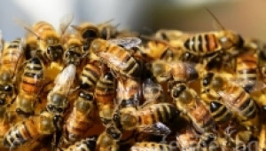 Зимно кълбо при пчелите