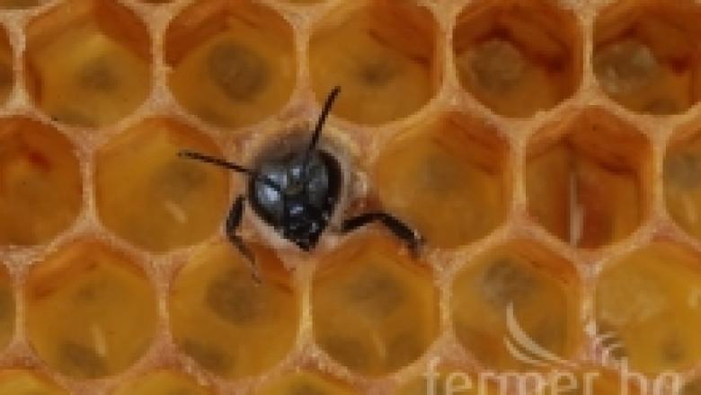 Манова токсикоза при пчелите
