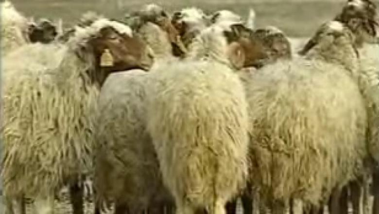 Видео клип с овце - порода АВАСИ
