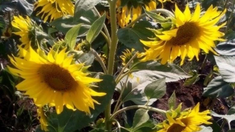През 2019 г. намалява добивът на слънчоглед, засетите площи с пшеница нарастват