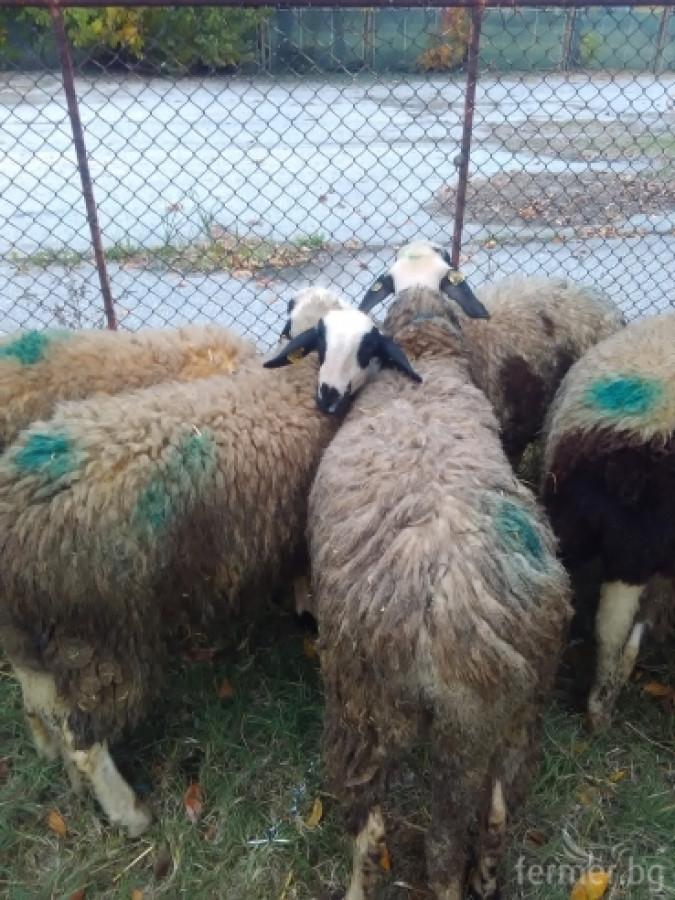 Маришки овце
