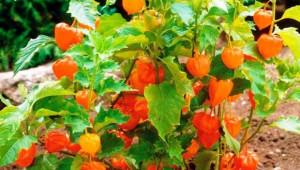 Екзотика: В очакване на новата реколта от физалис