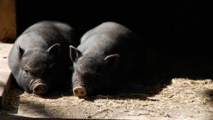 Свиневъдният сектор във Франция пред банкрут?