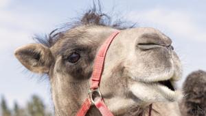 Чифликът с камилите