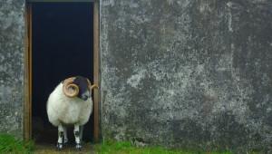 Рядка порода овце е на път да изчезне