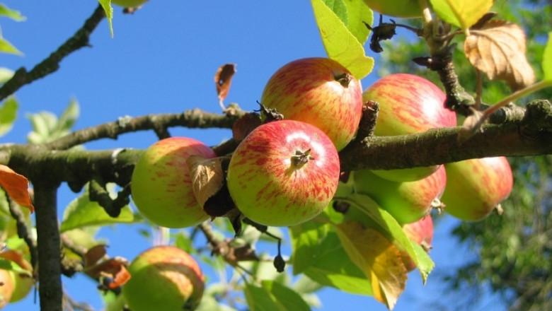 Ябълки от изоставени градини се продават като био