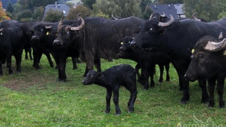 Кравите намаляват, растежът е при биволите