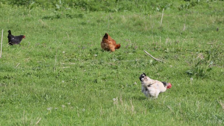 Ново огнище на птичи грип – в село Правдино, Ямболско