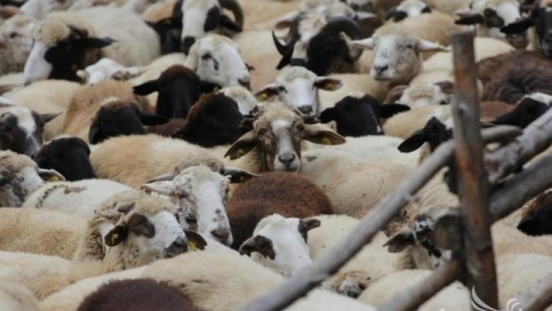 По време на чума: 103 заразени дребни преживни животни в 59 населени места