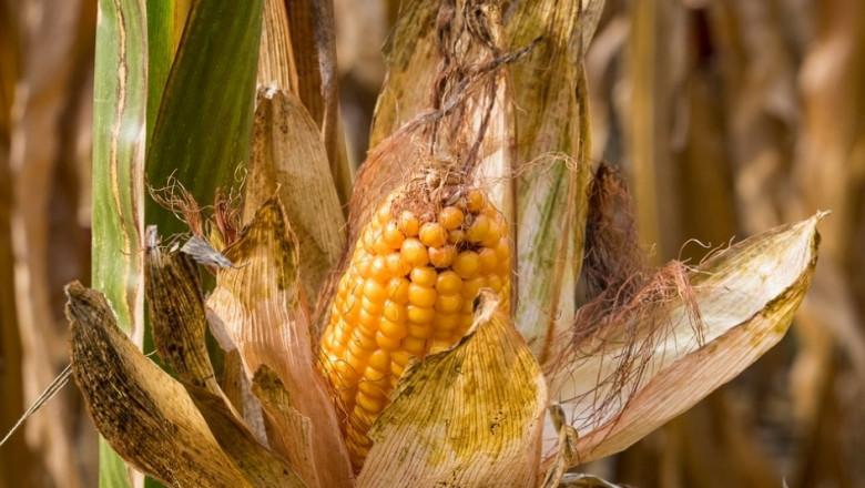 Времето оряза с 12% френската реколта от царевица