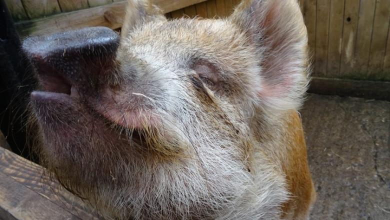 АЧС удари промишленото свиневъдство в Китай