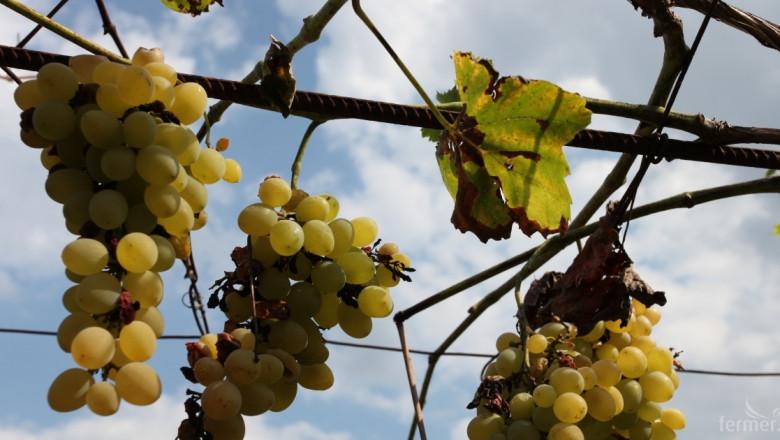 Лозарите притеснени: Винпромите приключиха с изкупуването на грозде