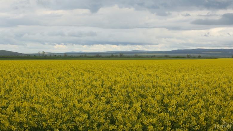 В Търновско сеят по-малко ечемик, за сметка на рапица