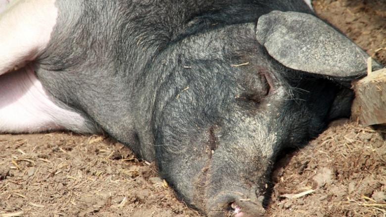 5 фактора, които спъват сектор свиневъдство