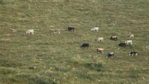 Глоби за животновъди. Пускали животните да тъпчат реколтата