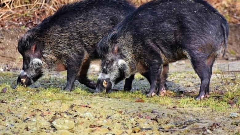 Променят правилата за лов на диви свине заради АЧС