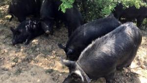 АЧС може да унищожи българска порода свине на 2500 години