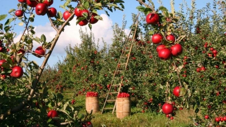 Добра година за ябълките в Европа
