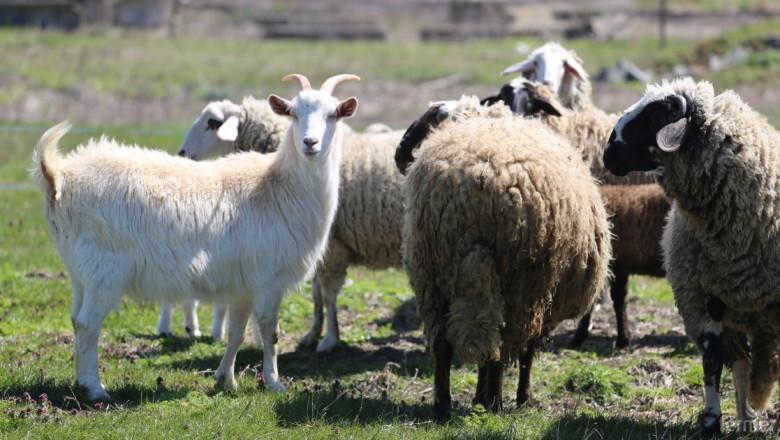 БАБ се обяви против масовото умъртвяване на овце заради чумата