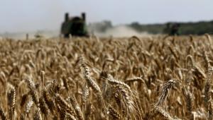 В Добричко ожънаха 1/5 от пшеницата
