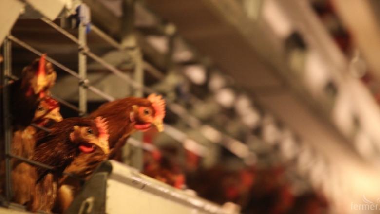 Умъртвяват 32 000 кокошки от заразената с птичи грип ферма