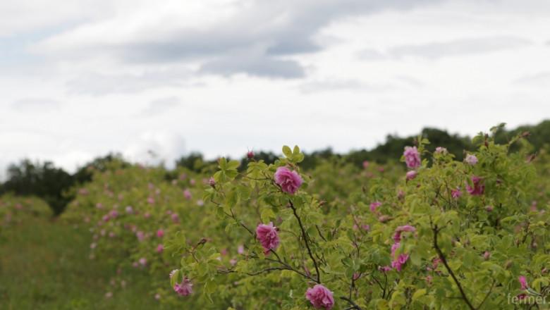 Розопроизводител унищожи декари с рози (видео)