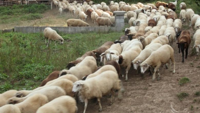 ЕП настоява за повече помощи за овцевъдство и козевъдство в новата ОСП
