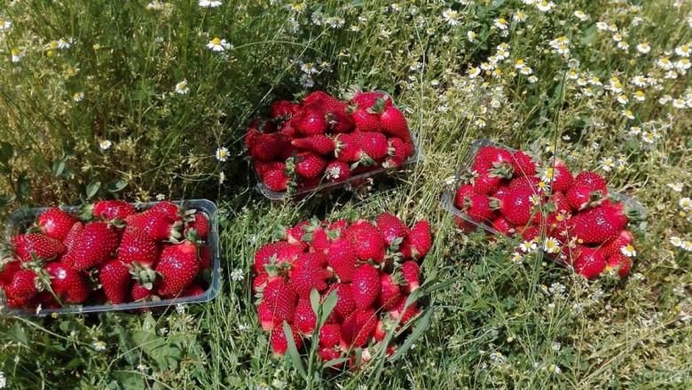 Първите ягоди - на фермерския фестивал