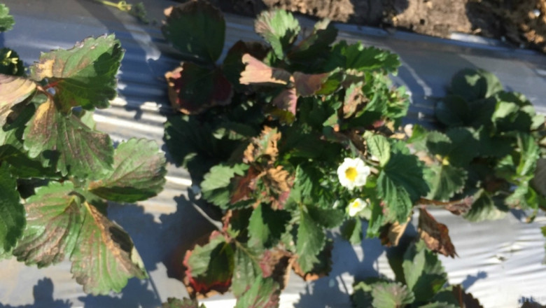 Заради липса на вода: Стопани пред провал на реколтата от малини и ягоди