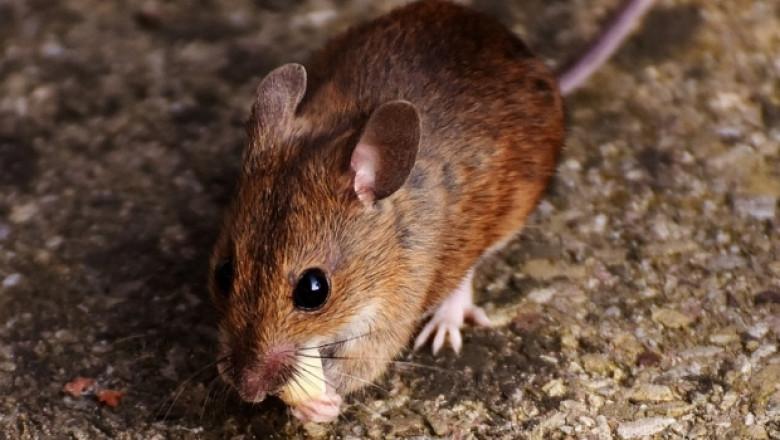 Опасност от полски мишки в нивите с пшеница заради топлата зима