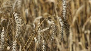 Отпускат целеви кредити за зърнопроизводители от 2 октомври
