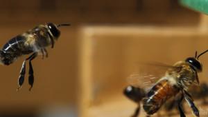 Пристрастяват ли се пчелите към неоникотиноидите