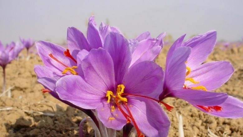 6 000 дка са засяти с шафранов минзухар в България