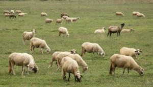 Ясни са условията и ставките по Схемите за обвързано подпомагане в сектор Животновъдство