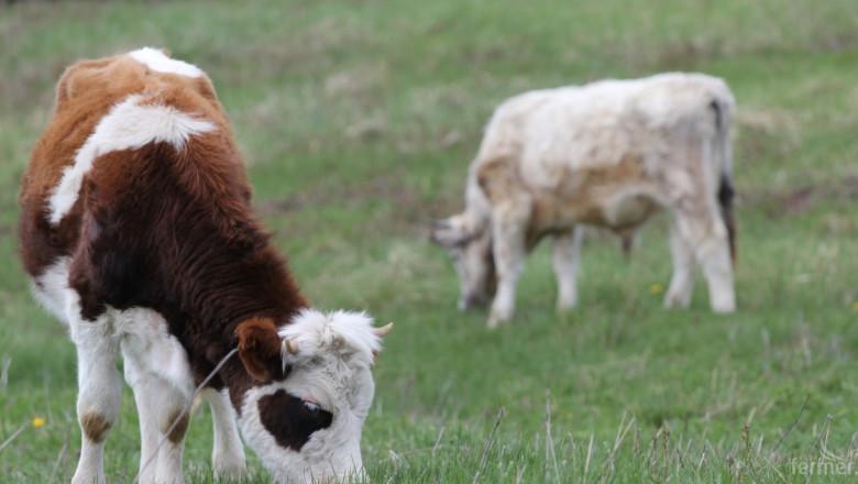 Активизира се пазарът на телета у нас