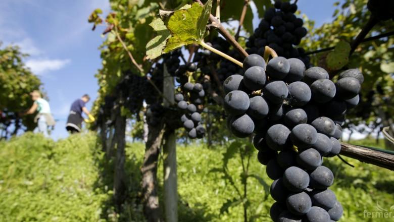 Копа Коджека отчита по-висока реколта на винено грозде в България