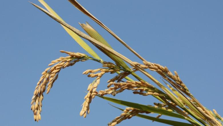 Жътвата на ориз започна със среден добив от 600 кг./дка