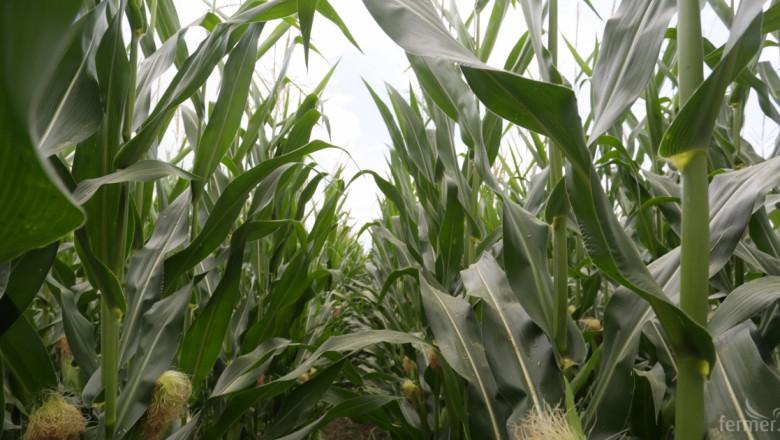 2000 кг/дка царевица! Постижим ли е този добив в България? (ВИДЕО)