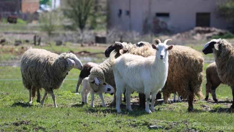 ДФЗ започва прием по De minimis за овце и кози от днес