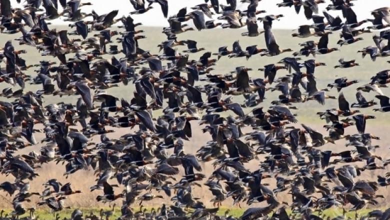 Отпускат субсидии за фермери, които опазват популацията на червеногуша гъска