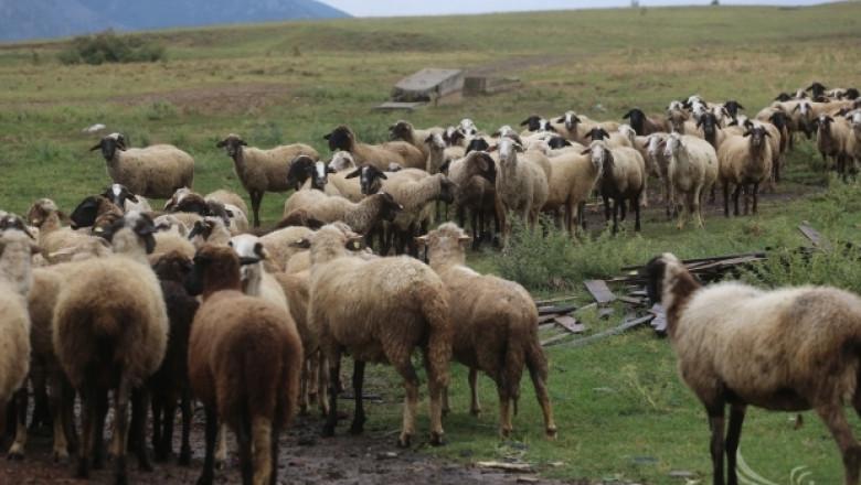 Мрачни прогнози за фалити на хиляди фермери през 2015-та заради Син език (ВИДЕО)