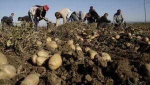 Производители на картофи ще получават помощ от ДФЗ за растителна защита